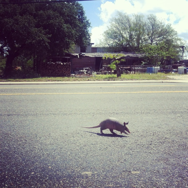 live sighting of an armadillo.